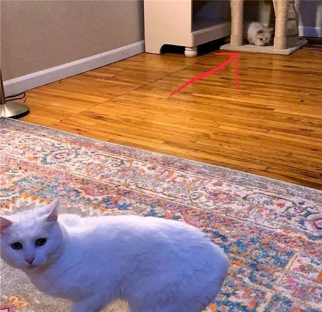 新来的兔子欺负猫,猫窝被抢后猫咪求助主人:你不管我就哭给你看