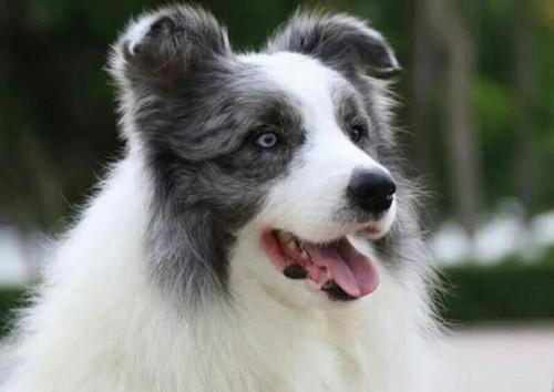 养狗知识:狗在地板上尿不祛味还会在那个地方尿吗