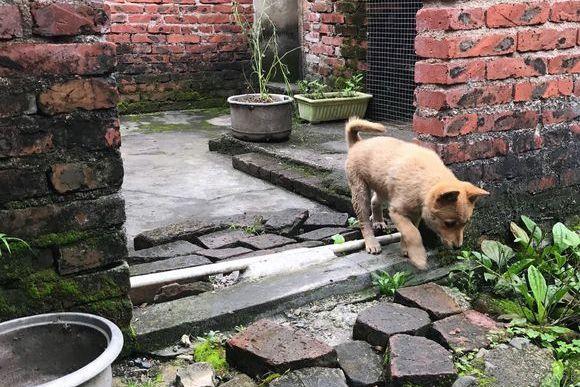 土狗在家不敢出门,它天天在院子里玩,狗:我在看门!