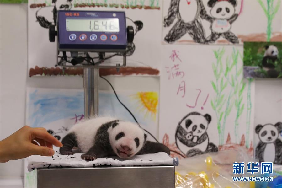 旅比大熊猫幼仔满月(组图)