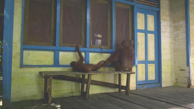 原创大猩猩成为动物学家终身朋友每天敲窗一起喝咖啡吃面条