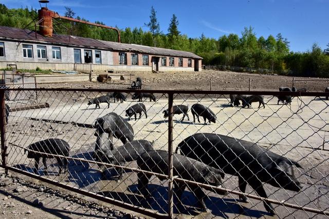 生猪存栏下降原因何在?专家:禁养区划定非主要因素