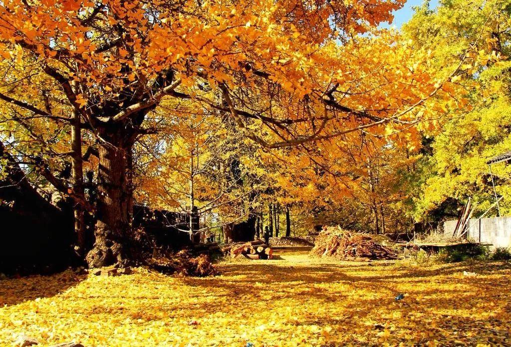 腾冲银杏村的秋天,无与伦比的美丽,犹如上帝打翻了调色板!