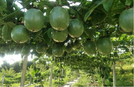 精品水果面积达19.77万亩!罗甸县将组织5家企业参加贵阳农交会