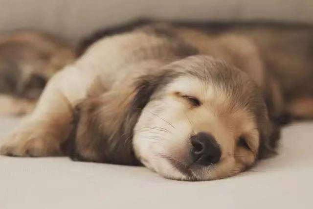 狗狗不睡觉的原因有哪些?