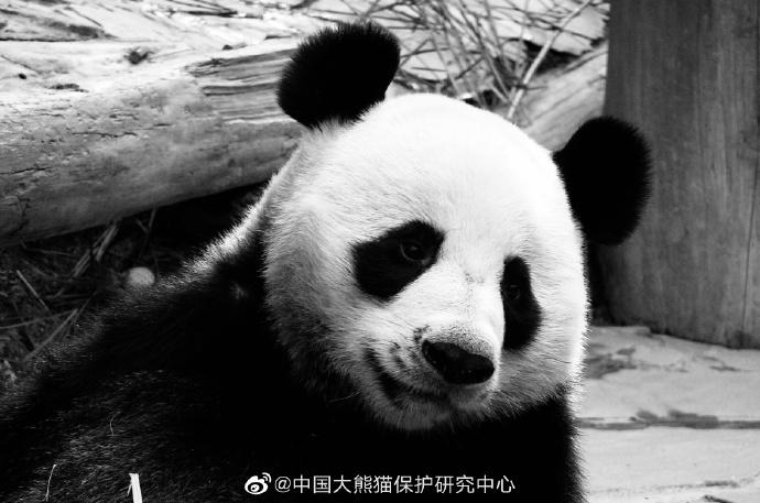"""旅泰19岁大熊猫""""创创""""离世死亡原因有待调查"""