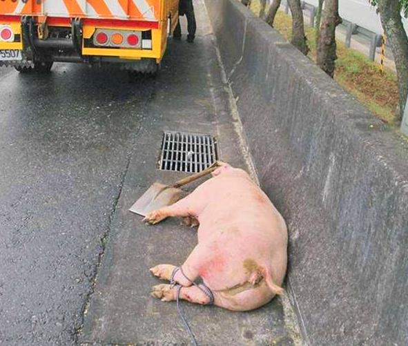 男子开车将肥猪送往屠宰场,没想到猪群为逃生做出了如此惊人之举