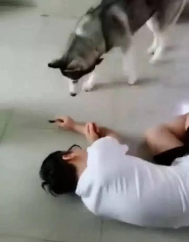 主人打起了歪脑筋:装晕倒,测试家里的狗是什么反应!