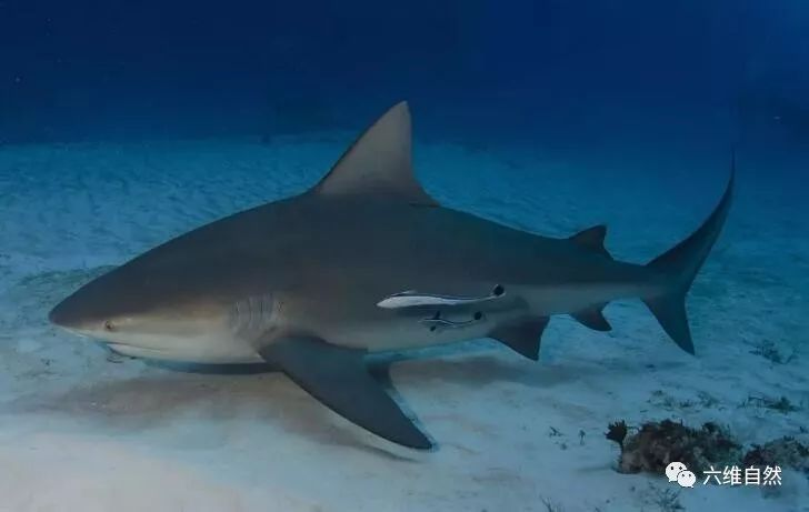 唯一一種淡水海水都能生存鯊魚,比大白鯊更危險,對人類威脅最大