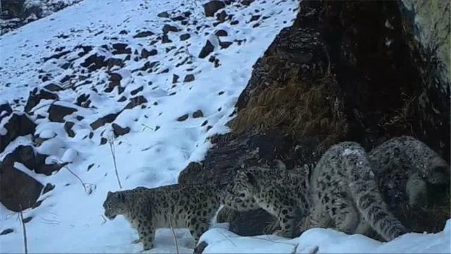 """原創三江源發現兩只雪豹""""談戀愛"""",尾巴又長又大,睡覺時可當毛毯用"""