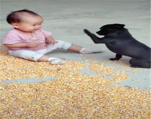 原創主人去田里收莊稼,土狗幫忙照看小寶寶,果然是個合格的家庭成員