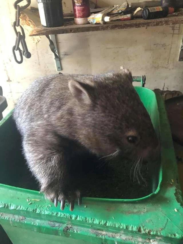 原創小袋熊把之前救助它的動保中心當自助餐廳了,總是跑去那里偷吃