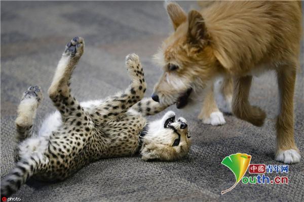 獵豹幼崽與狗狗成朋友一起玩耍打鬧實在太有愛