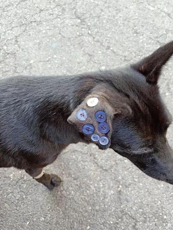 给狗狗耳朵缝了7颗纽扣,引众怒,兽医却说:这是在治病
