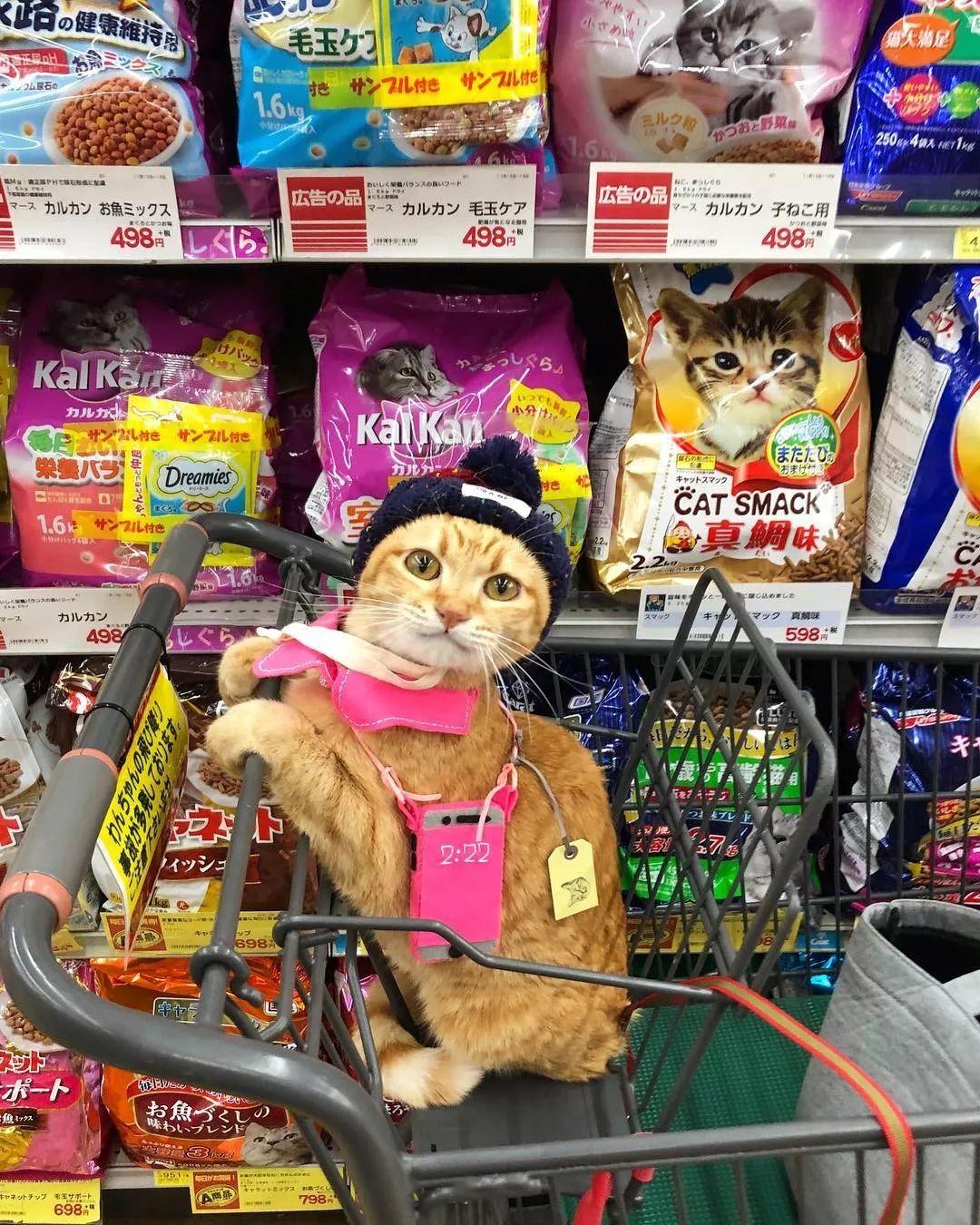 日本一喜欢逛超市的橘猫走红网络!乖巧认真的画风,太萌了