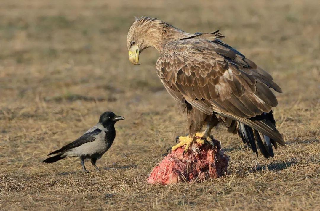 智商过人,还胆大包天的乌鸦