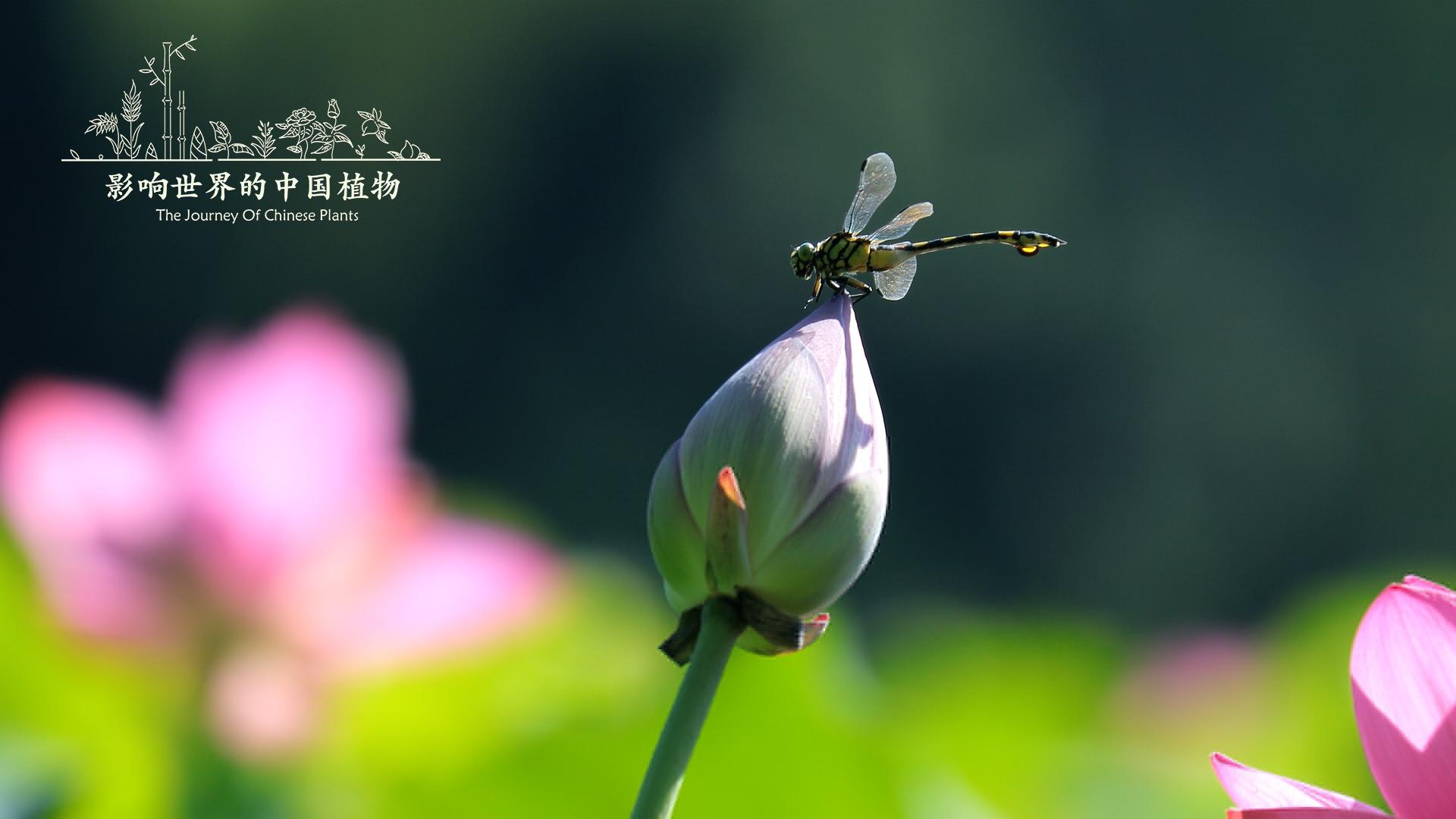 《影响世界的中国植物》美到让你重新认识大自然 豆瓣8.9的照片 - 6