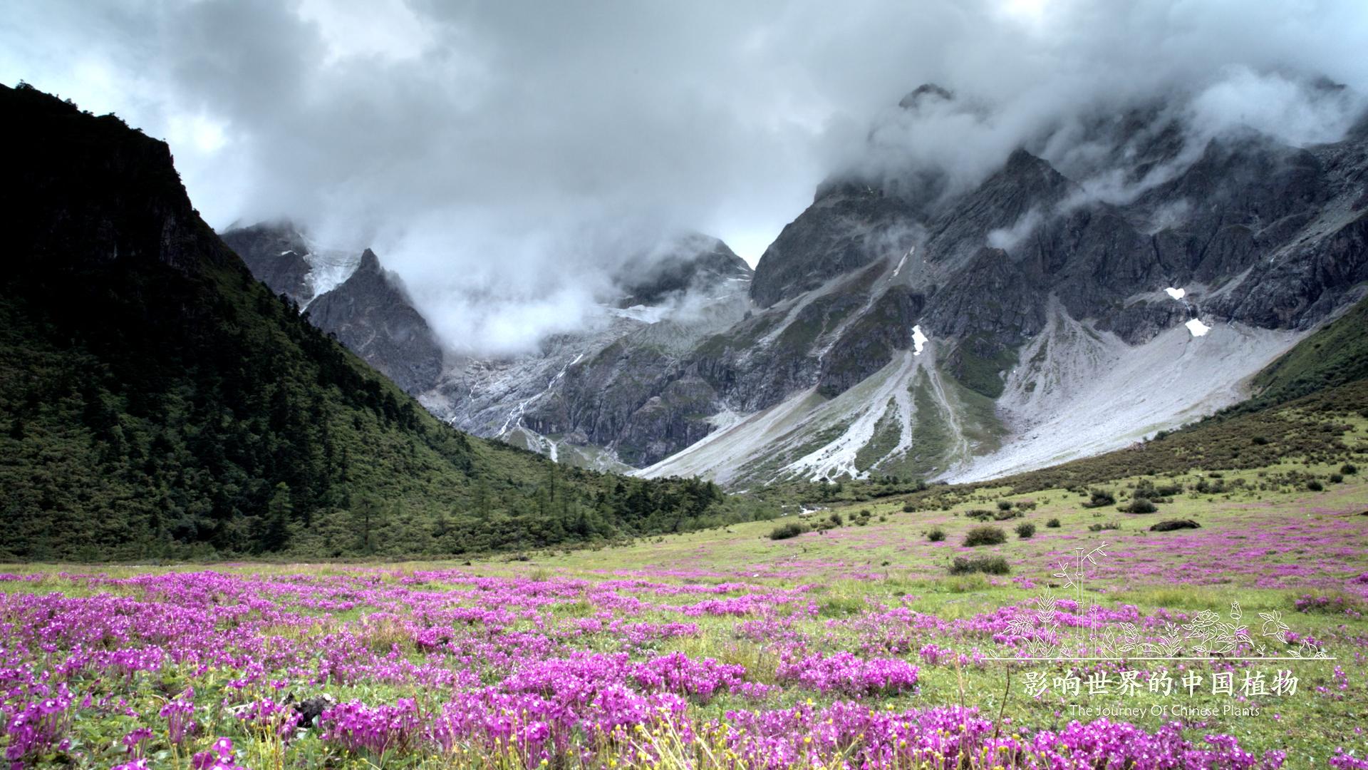 《影响世界的中国植物》美到让你重新认识大自然 豆瓣8.9的照片 - 5