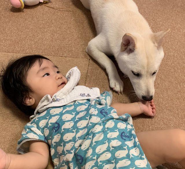 """出生70天的柴犬宝宝,凭睡姿萌翻200w网友:""""又想骗我养狗!"""""""