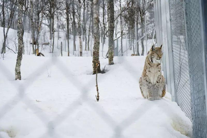 猞猁  Lynx