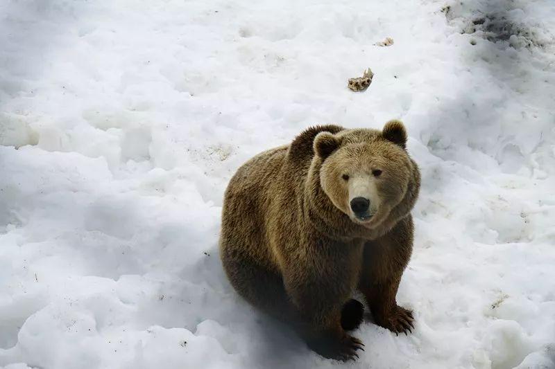 大棕熊  Brown bear