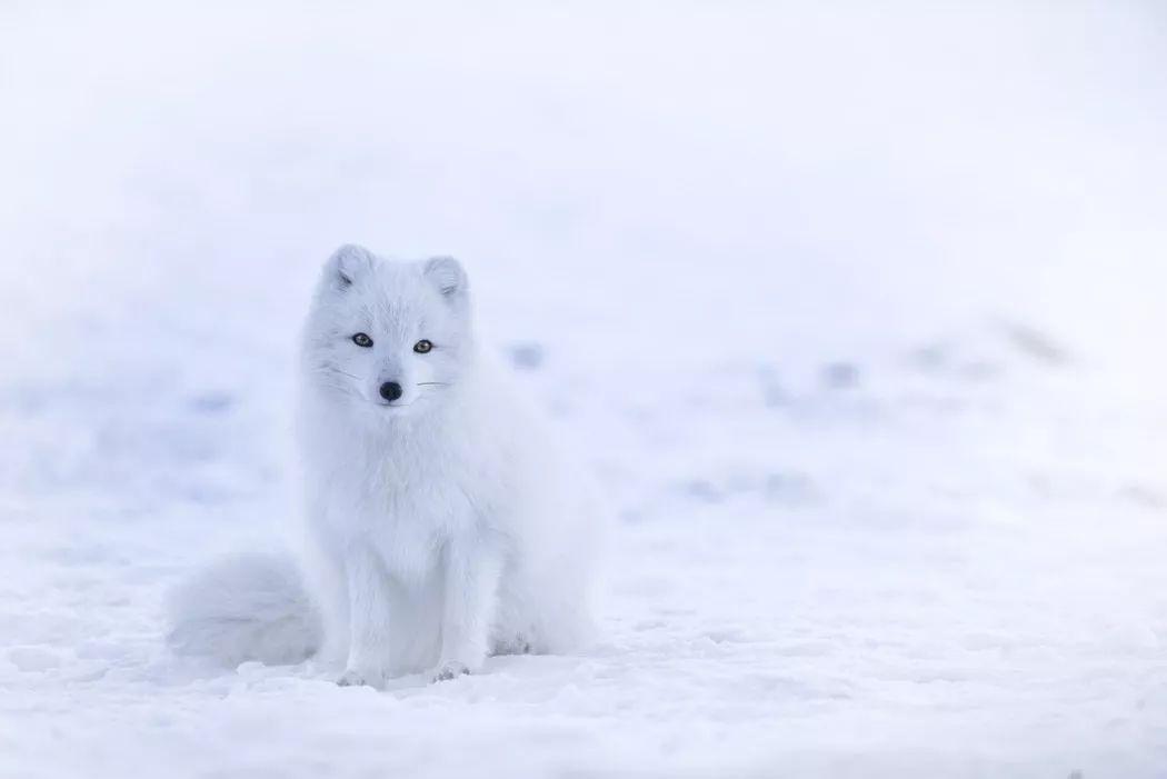 北极狐  Arctic fox