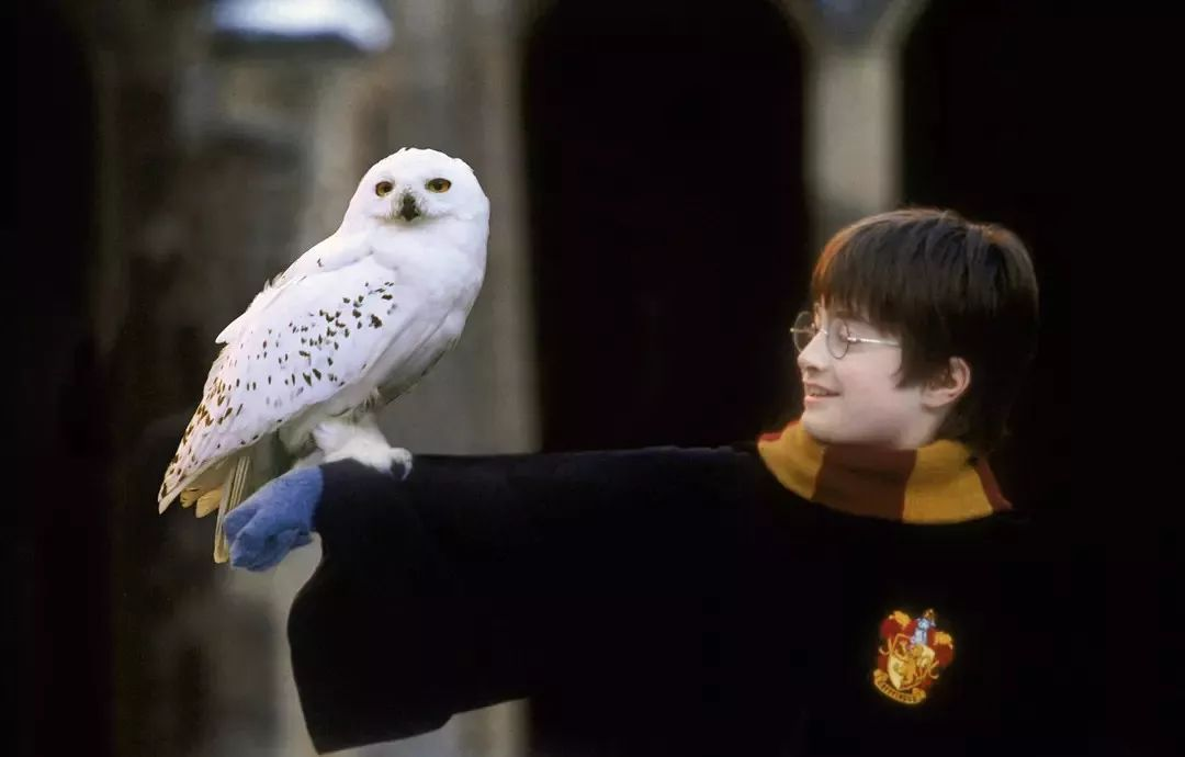 雪鸮  snowy owl