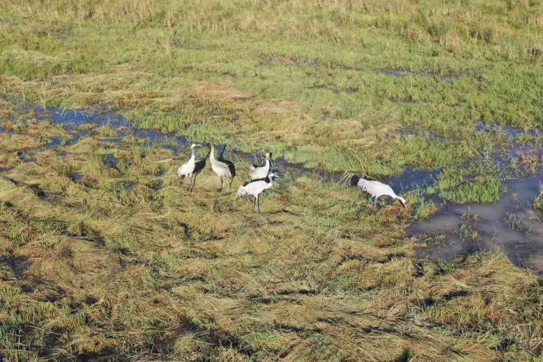 威宁草海自然保护区迎来首批越冬灰鹤