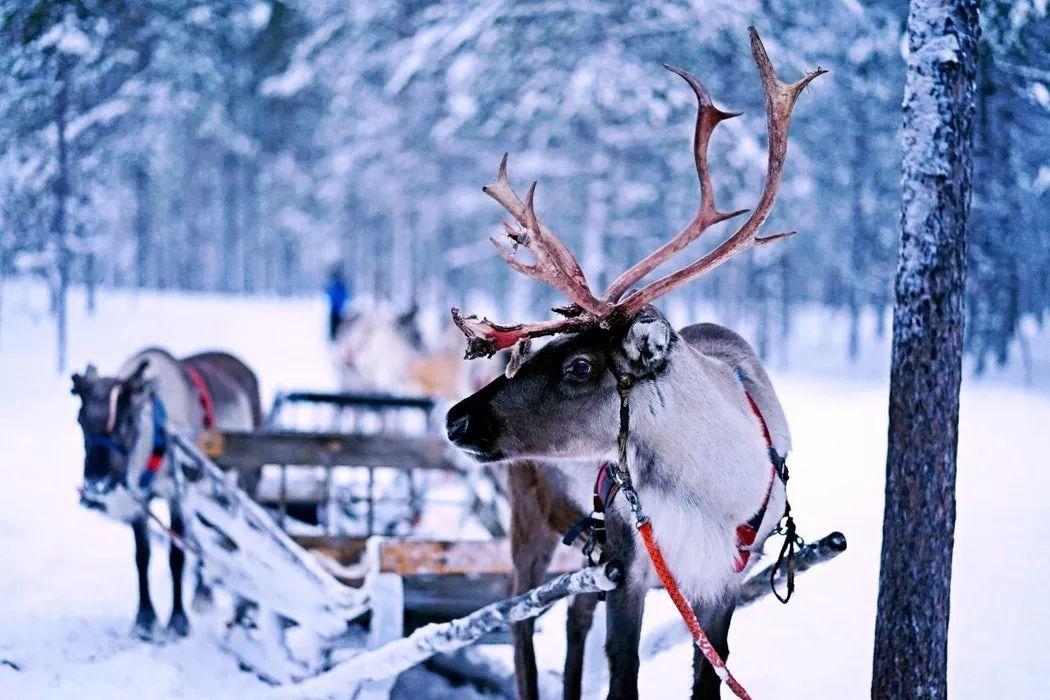 驯鹿  Reindeer