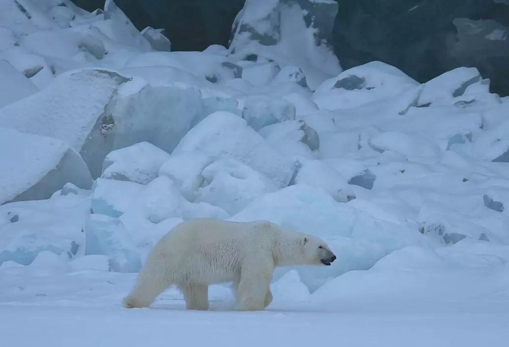 北极熊  Polar bear