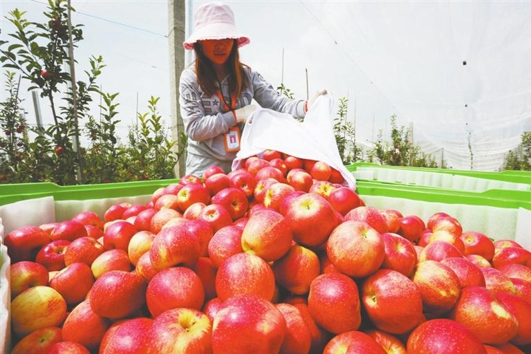 威宁苹果:香甜四方 风行天下