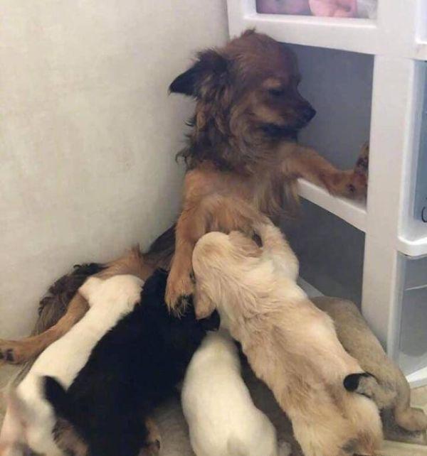 狗狗第一次当妈妈,看到宝宝哭时,反应笑死个人……