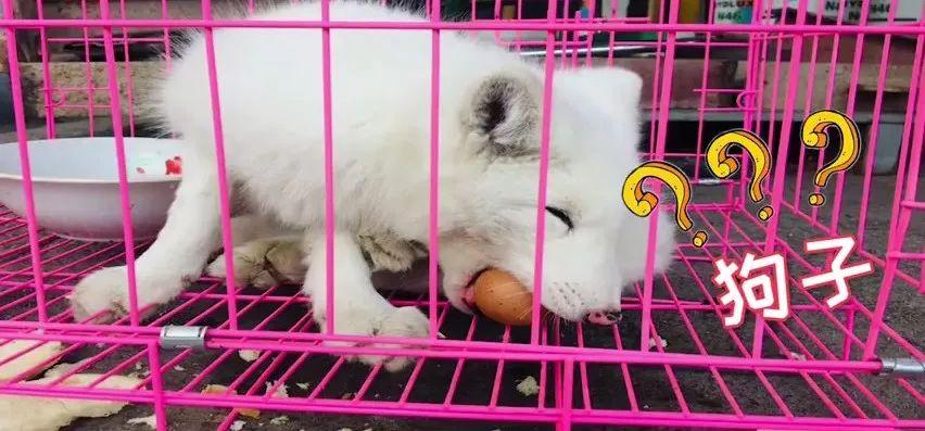 """民警救了一只""""萨摩耶""""?不,其实人家是小白狐"""
