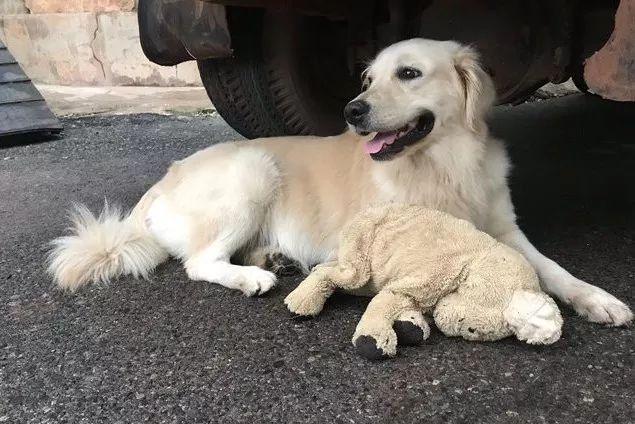 金毛每天哭着送主人上班,直到昨天,它突然笑了
