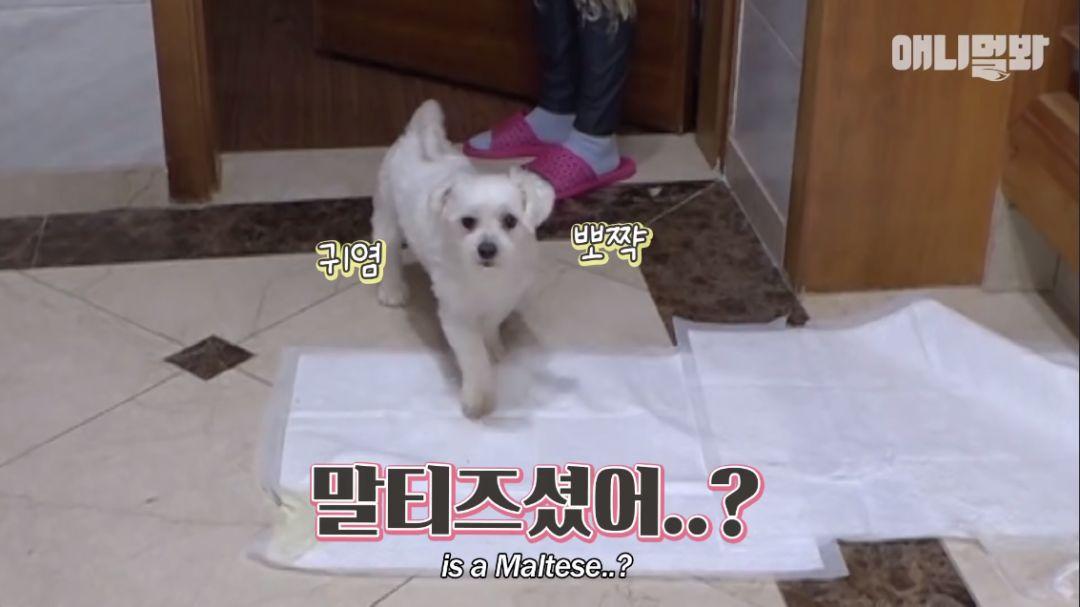 """""""迷你犬让二哈意外怀孕""""爆红韩国!网友:别告诉泰迪!"""