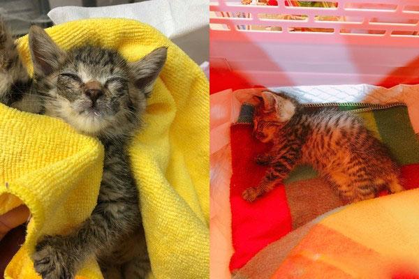 妹妹成了瘫痪猫站起来的动力,每晚硬拖着身体,把妹妹叼回窝睡觉