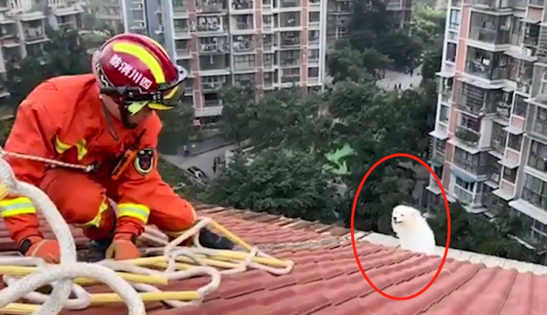 萨摩耶跑楼顶看风景被卡,可获救后消防员都要被它气笑了!
