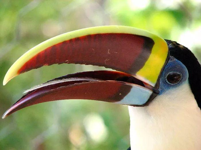 长相奇特的巨嘴鸟,还有许多我们不知道的秘密(图11)