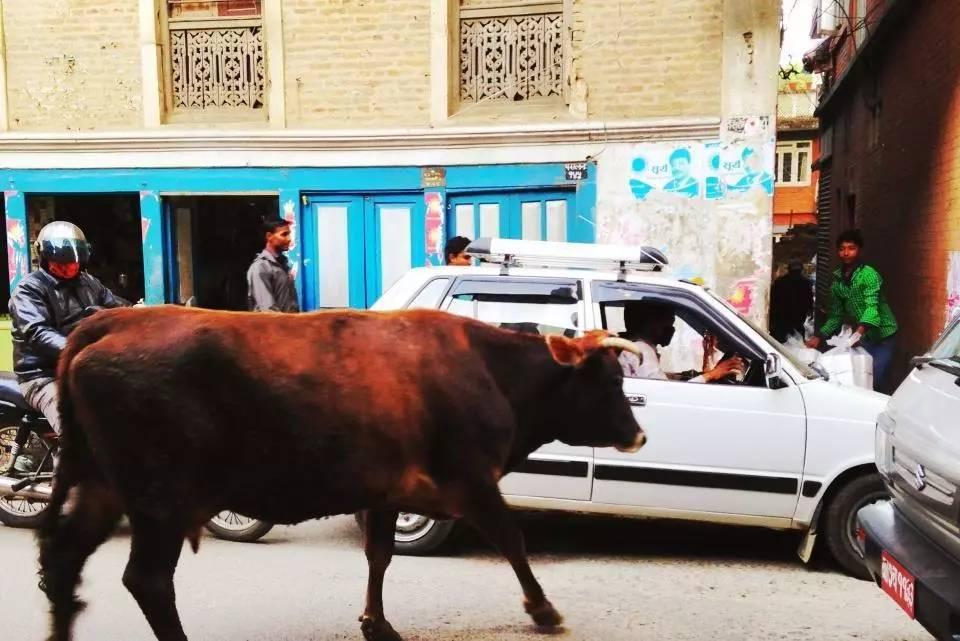 这个国家的黄牛很幸福,不得耕地、不可杀更不能食肉