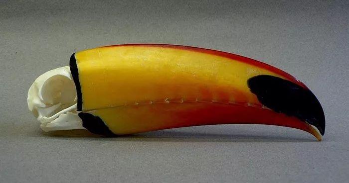 长相奇特的巨嘴鸟,还有许多我们不知道的秘密(图2)
