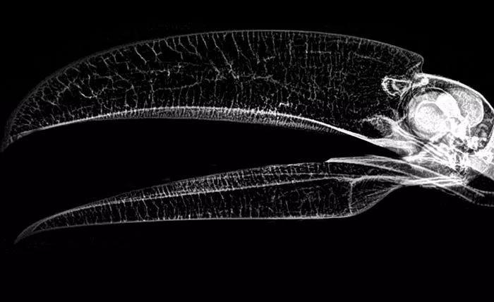 长相奇特的巨嘴鸟,还有许多我们不知道的秘密(图6)