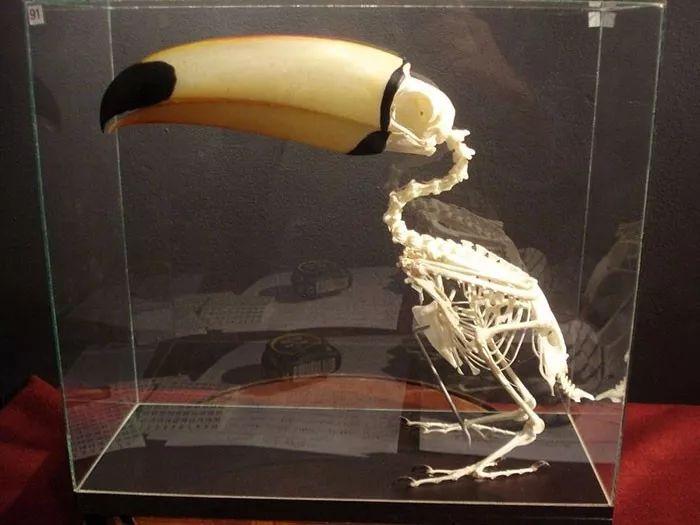 长相奇特的巨嘴鸟,还有许多我们不知道的秘密(图3)