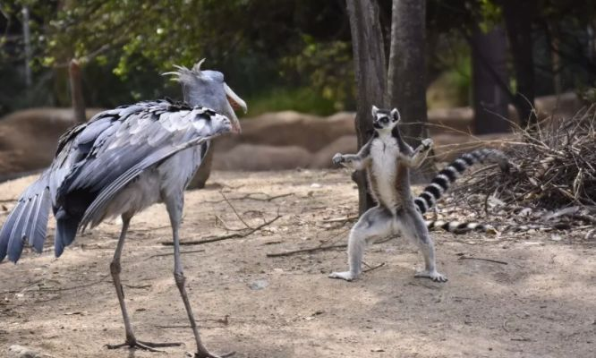 """""""鸟中哈士奇""""爆红网络:世界上头最大的鸟,居然这么傻啊哈哈哈哈"""