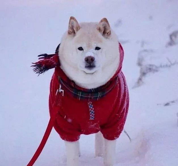 好好的一只白柴,胖成了北极熊!