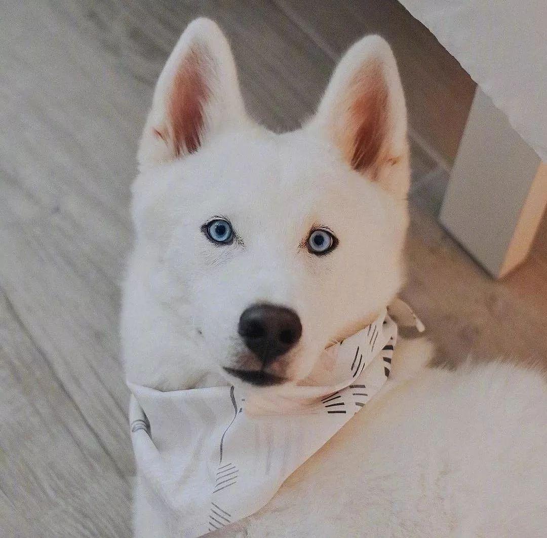 网友晒白色哈士奇,真的有被帅到啊!