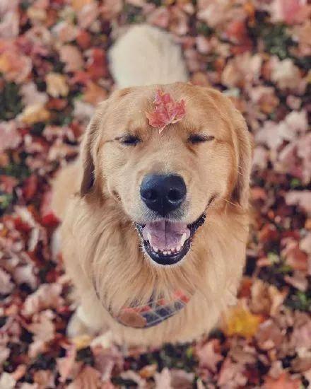 """女孩想养一只""""暖心""""的狗,大家都推荐了金毛,可结果……"""