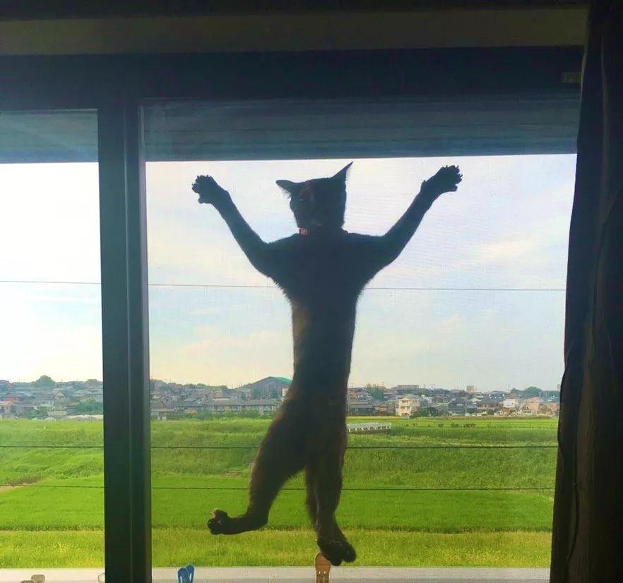 体型巨长的猫咪(组图)