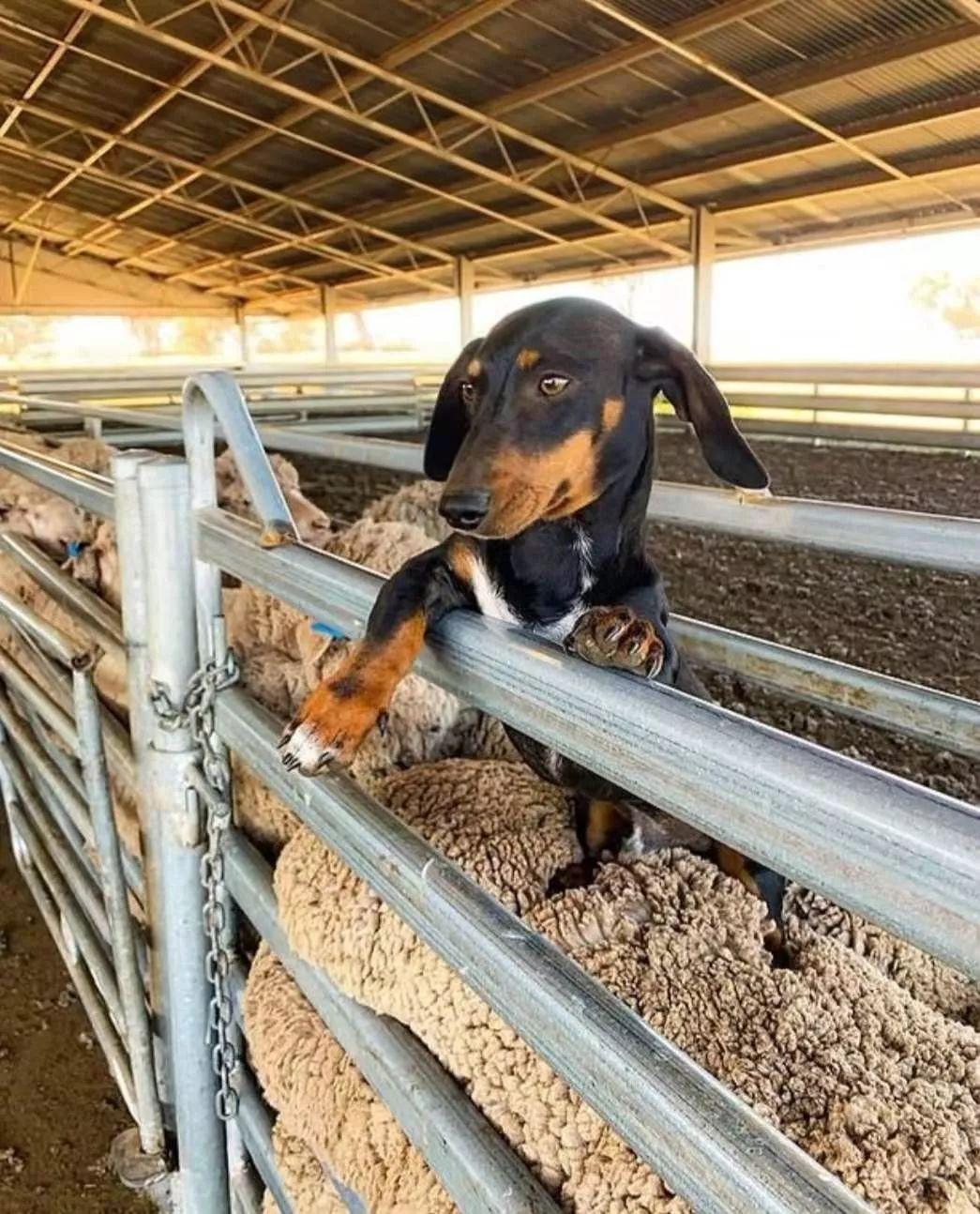 牧羊大军里,竟然有一只腊肠狗?