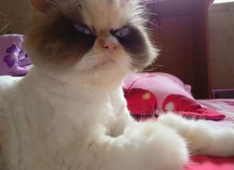 网友家猫天生暴怒脸,但性格hin温柔,这反差萌谁受得了啊