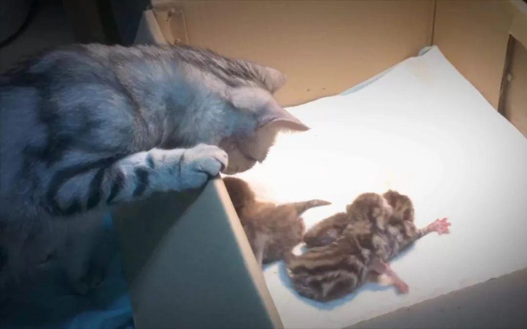 """猫:""""第一次当妈,有点坑娃…"""""""